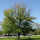 Canopy Dieback Tree