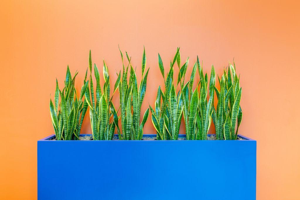 Blue indoor planter against orange wall